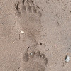 MGB-13-477-78:  Grizzly Paw prints