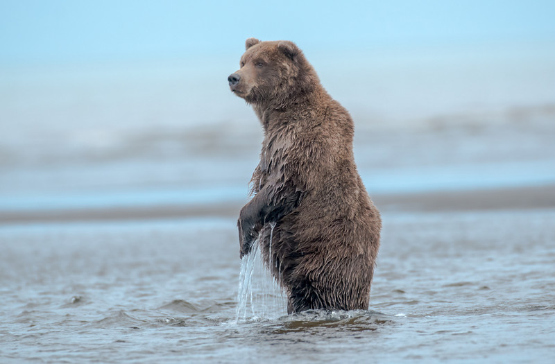 """MGB-13-445: Standing Alaskan Brown Bear (to see more Grizzly Bear images go to """"Gallery/Grizzly Bear"""")"""