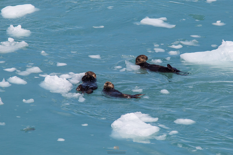 otters at glacier bay.jpg