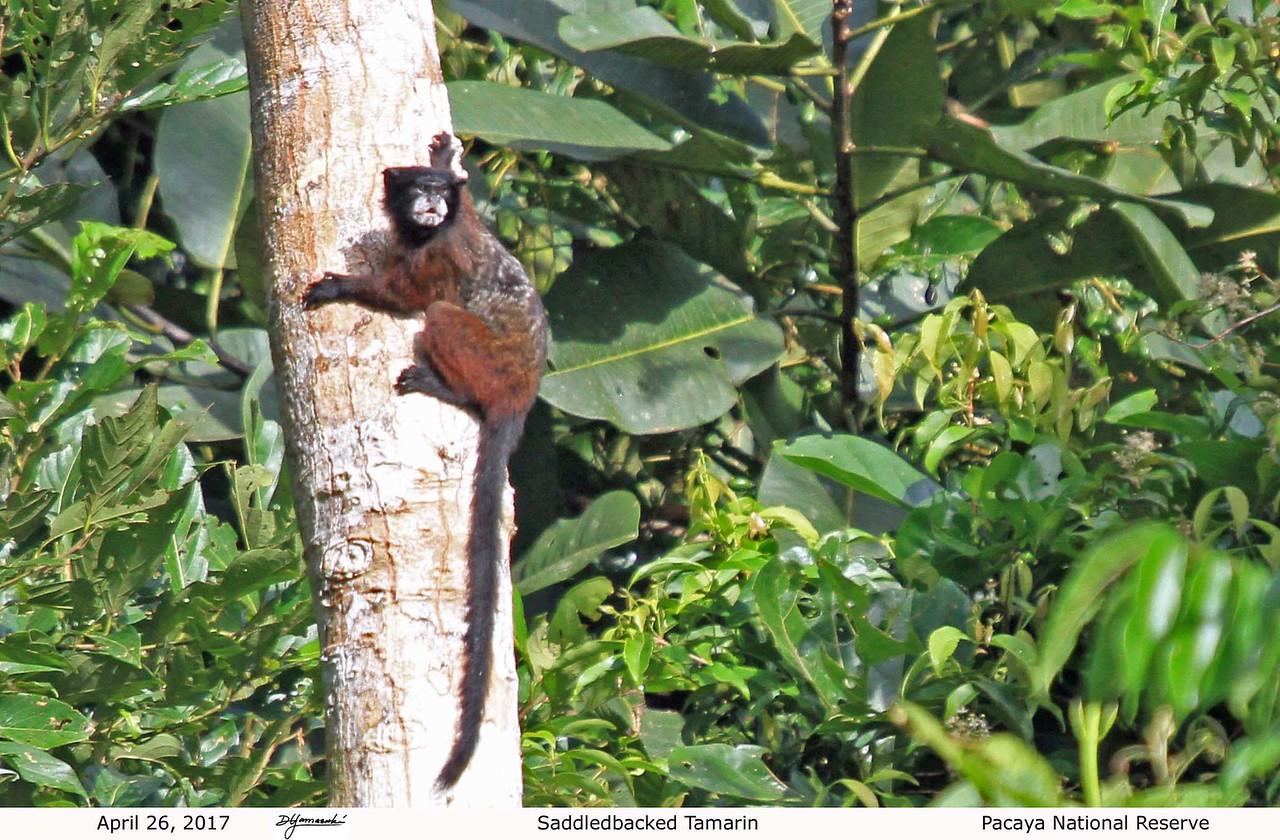 Saddlebacked Tamarin - Pacaya Samiria National Reserve