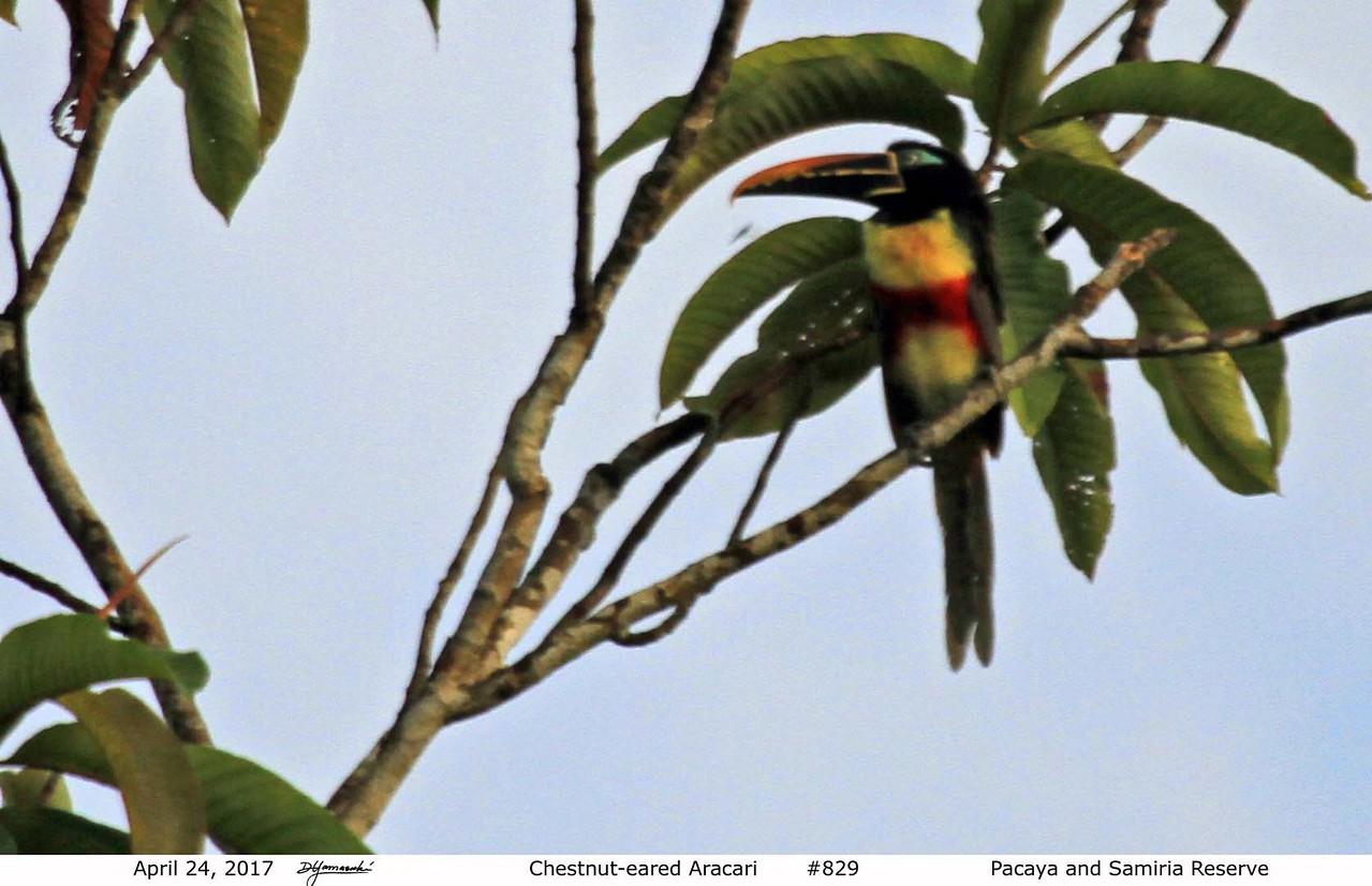 Chestnut-eared Aracari - Amazon Basin