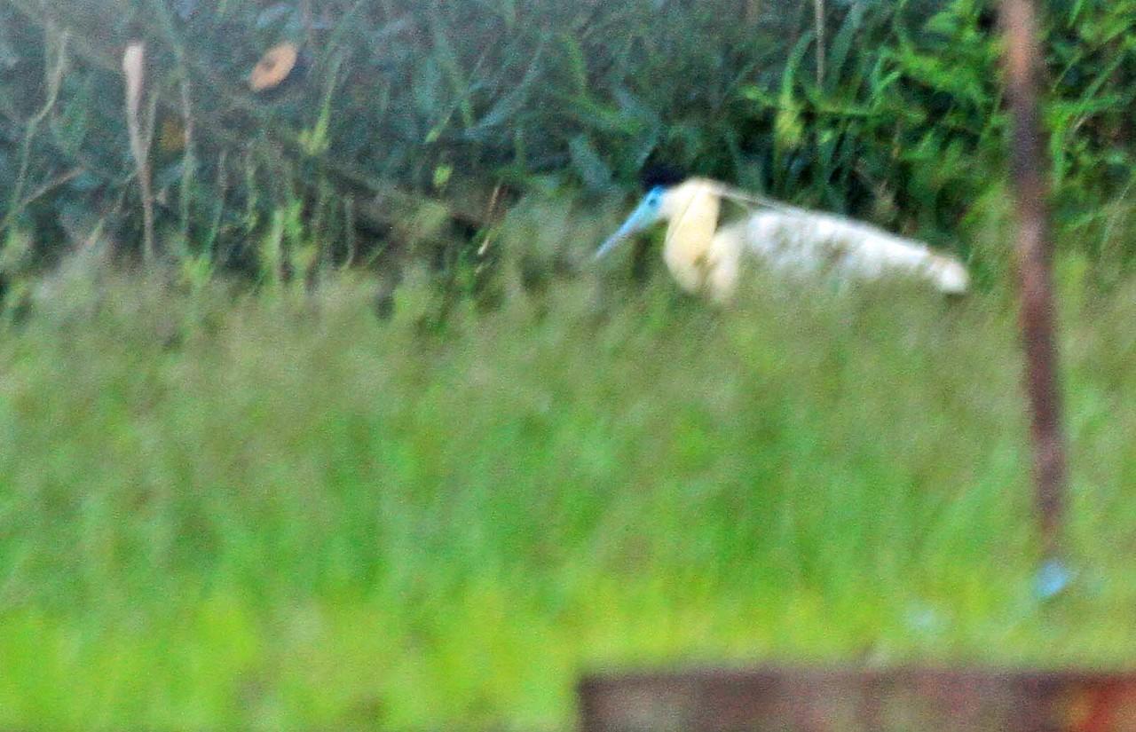 Capped Heron - Pacaya Samiria National Reserve