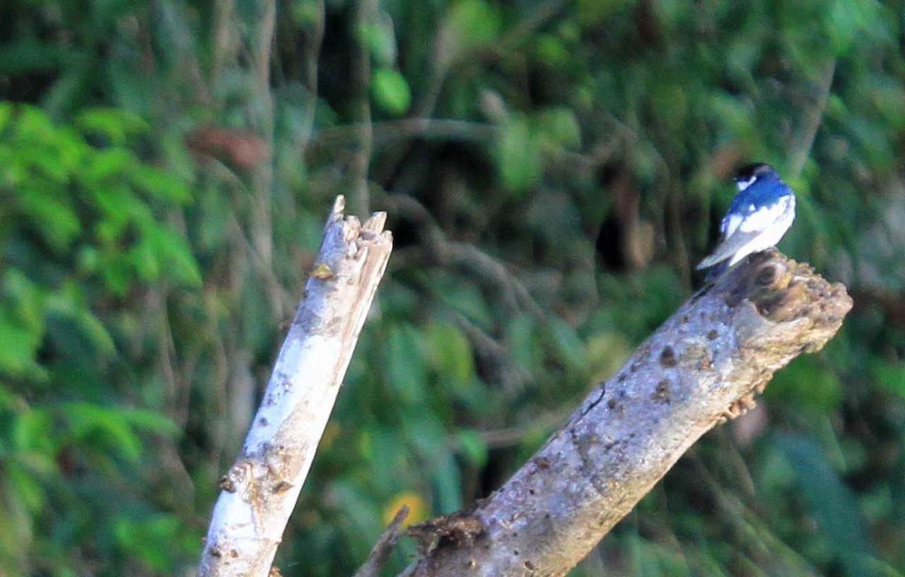 Blue-and-white Swallow - Amazon River Basin