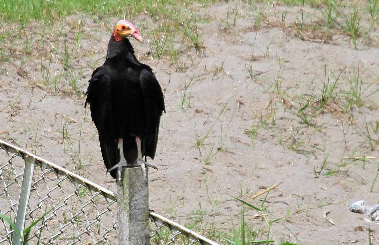 Greater Yellow-headed Vulture - Amazon River Basin