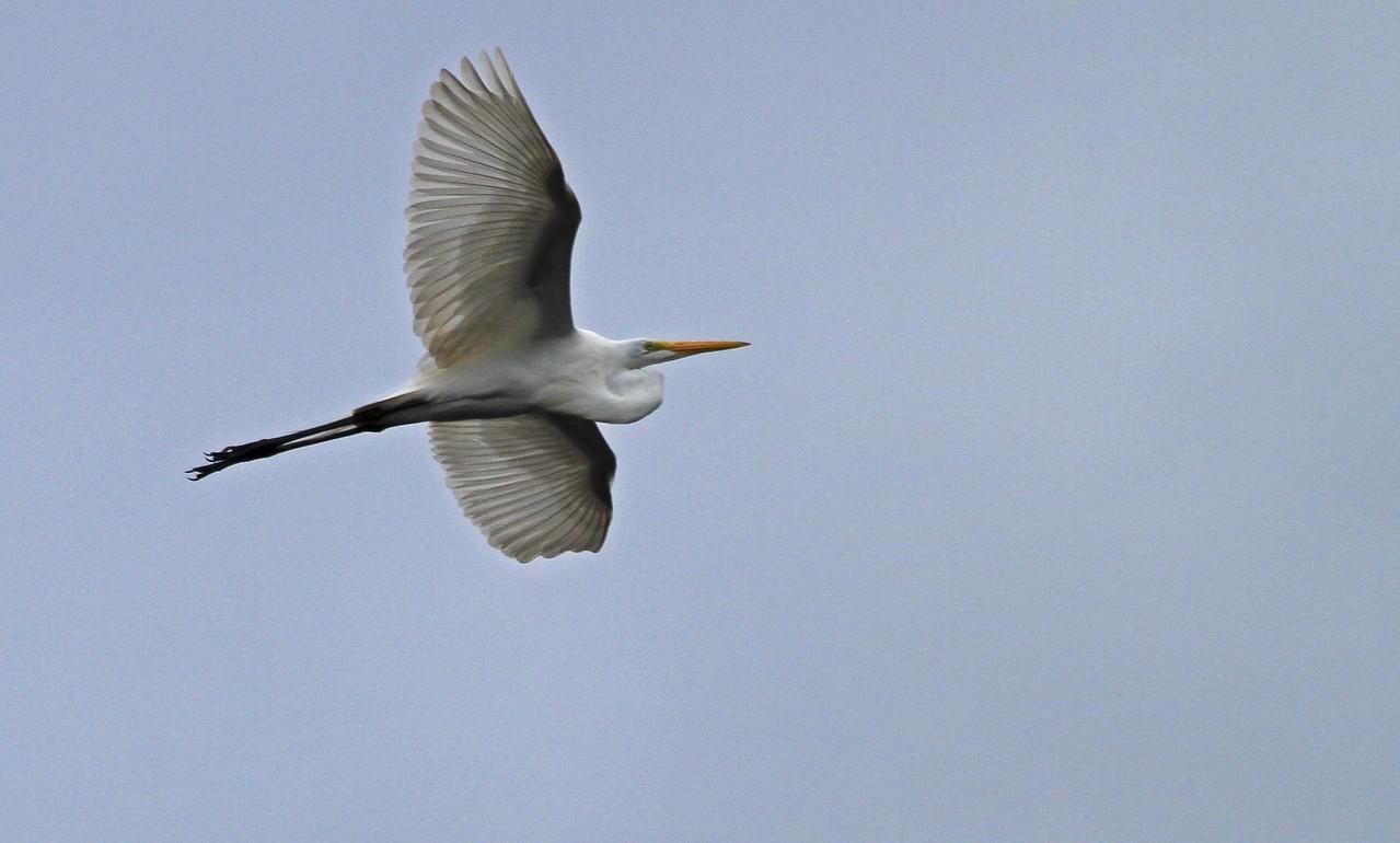 Great Egret - Pacaya Samiria National Reserve