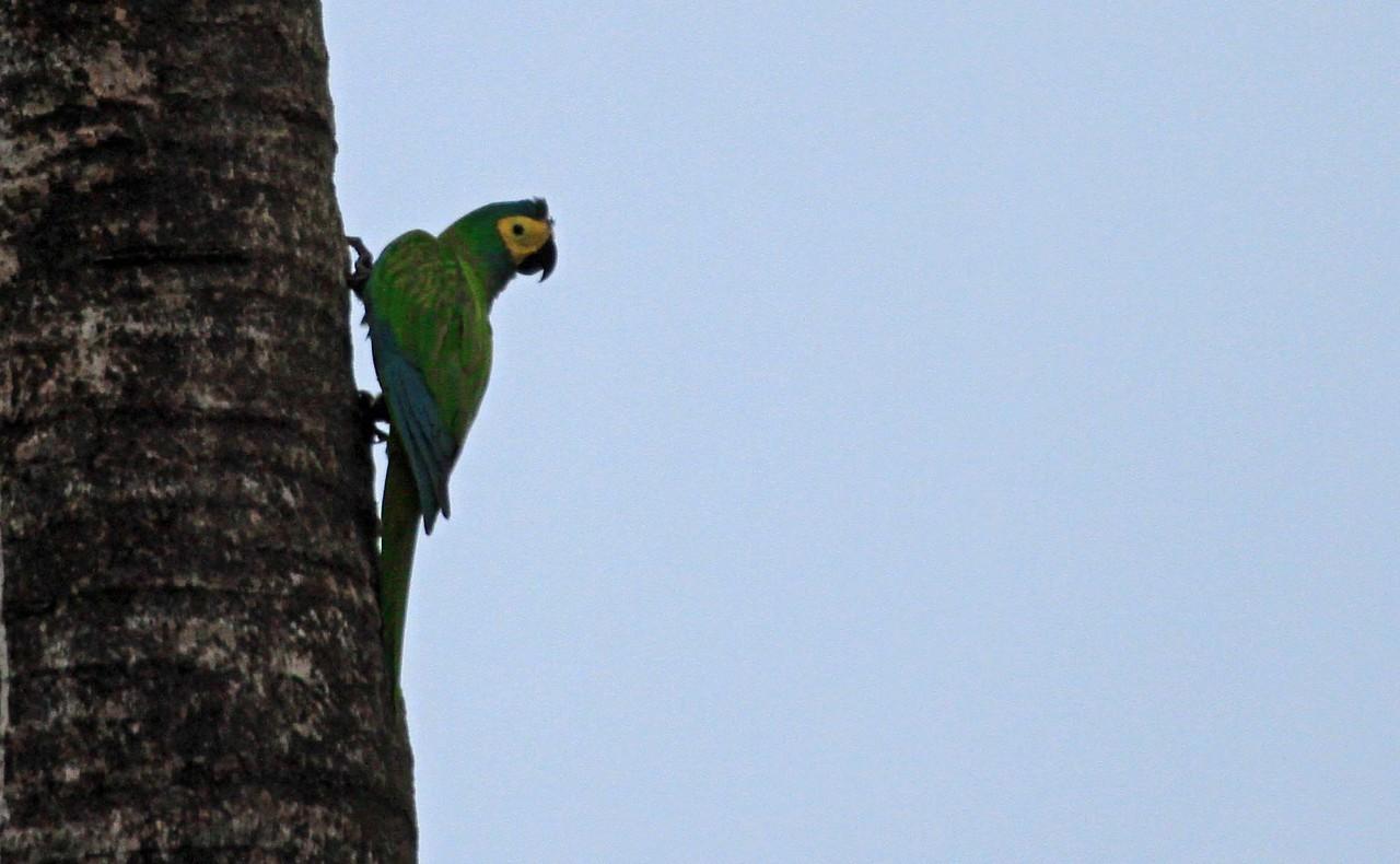 Red-bellied Macaw - Maurita Palm Swamp, Pacaya Samiria National Reserve