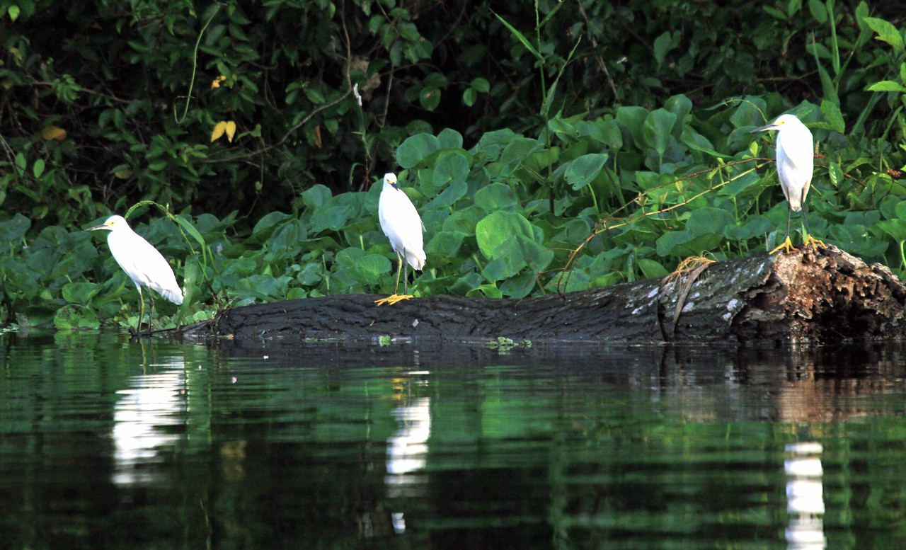Snowy Egret - Pacaya Samiria National Reserve