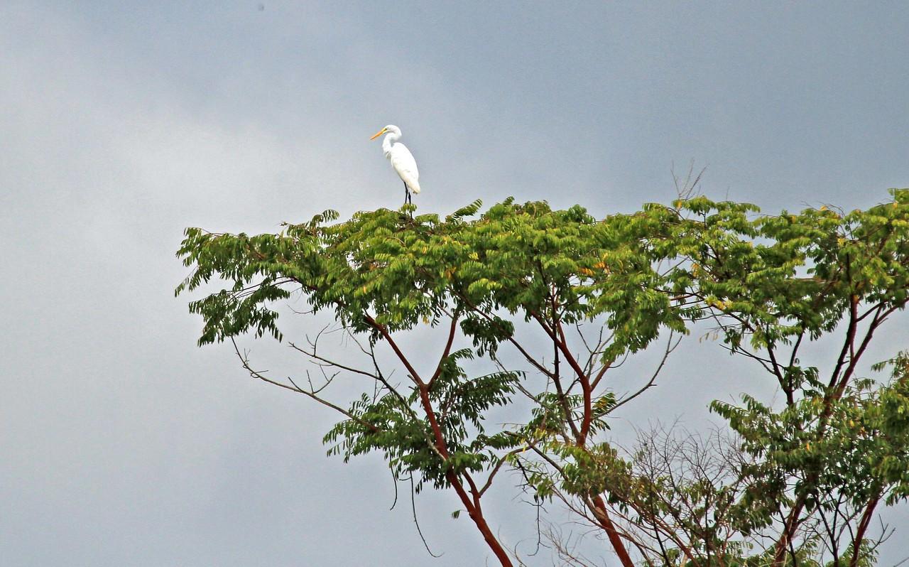 Great Egret - Iquitos Riverfront