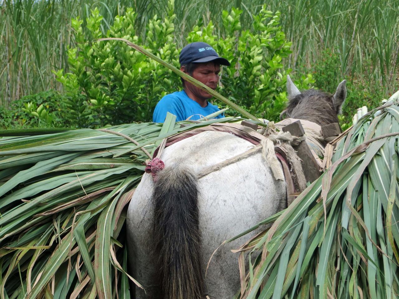 Hauling sugar cane to processing plant - Nueva Esperanza