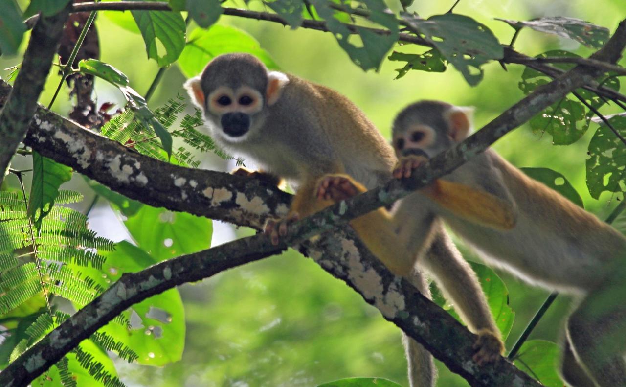 Common Squirrel Monkey - Pacaya Samiria National Reserve