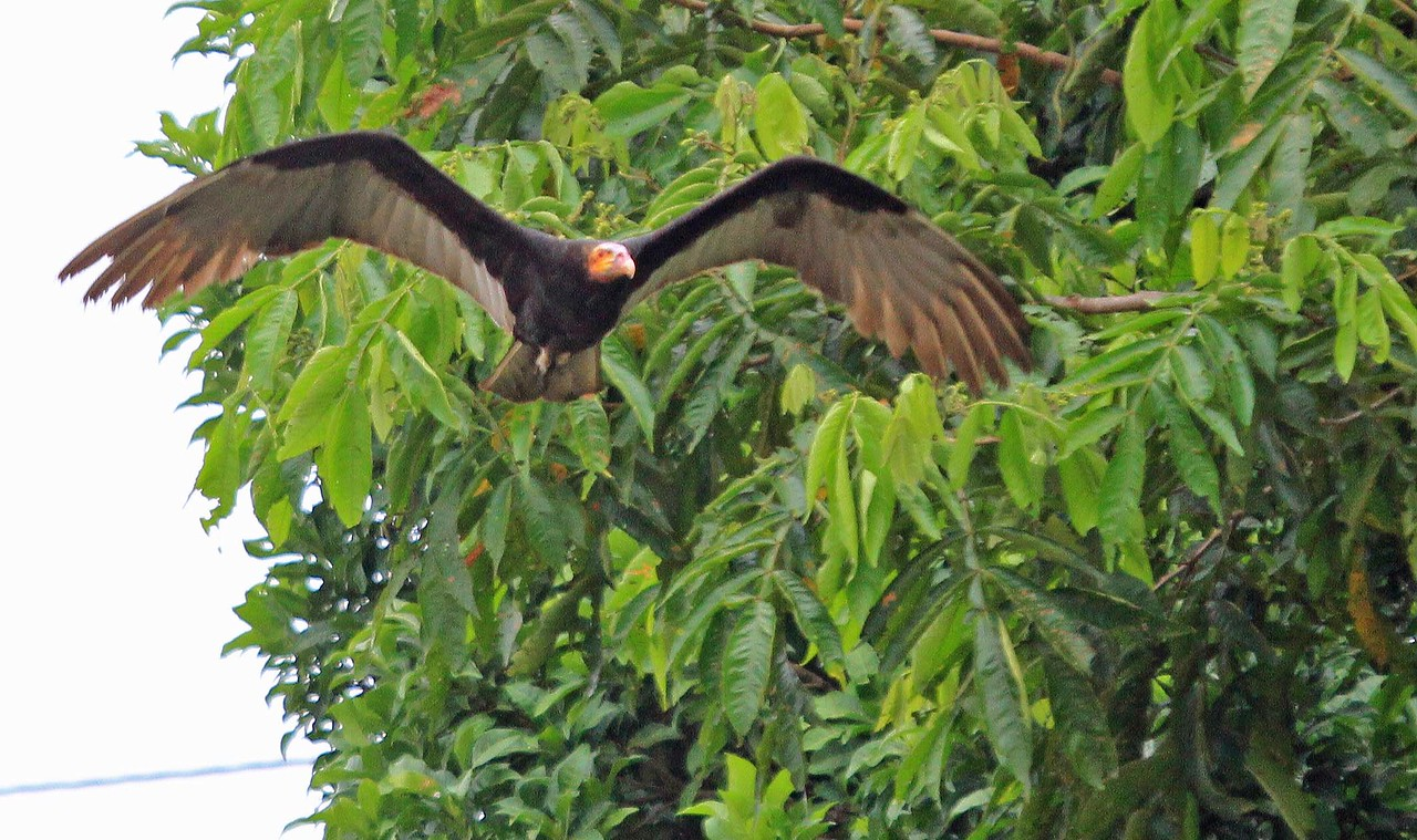 Greater Yellow-headed Vulture - San Regis