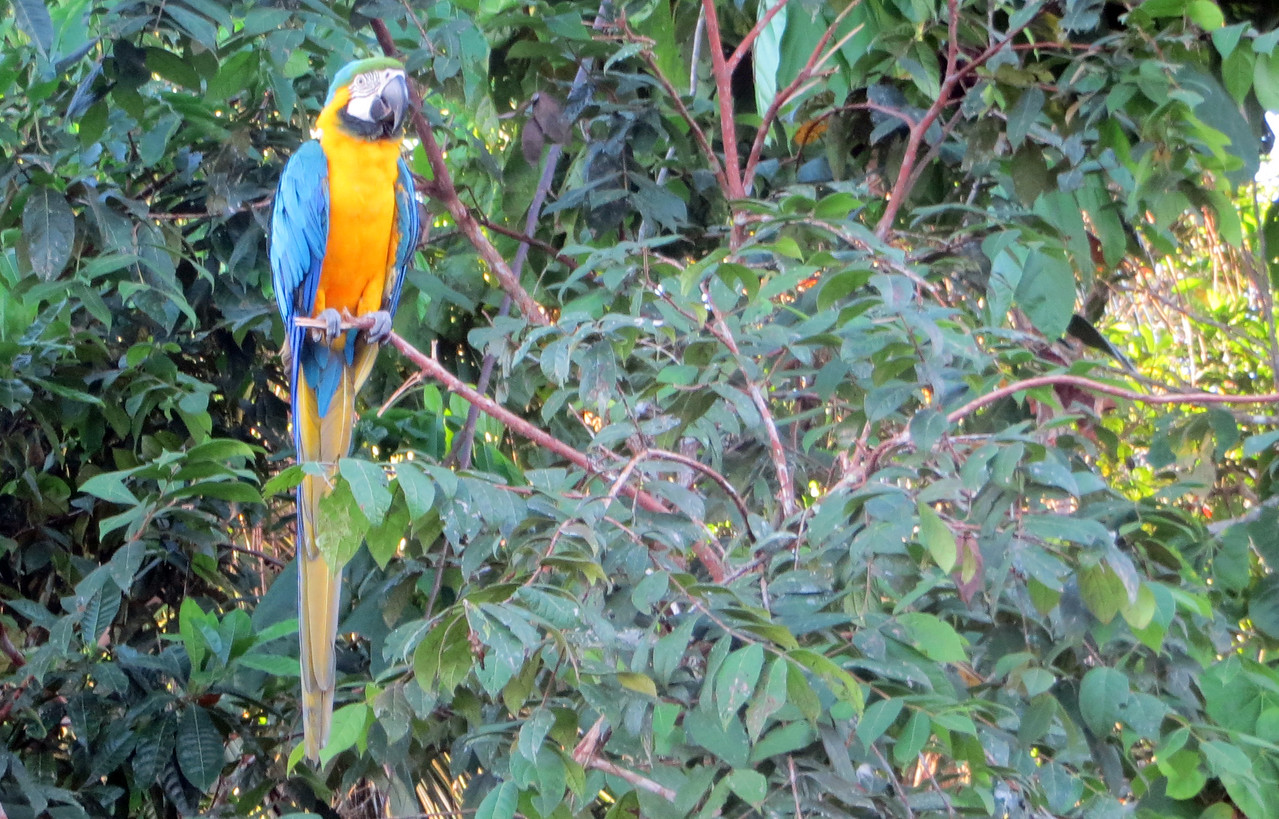 Pet Blue-and-Yellow macaw at local home