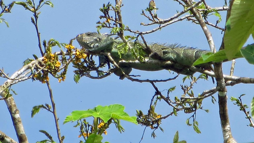 Green Iguana - Amazon River Basin