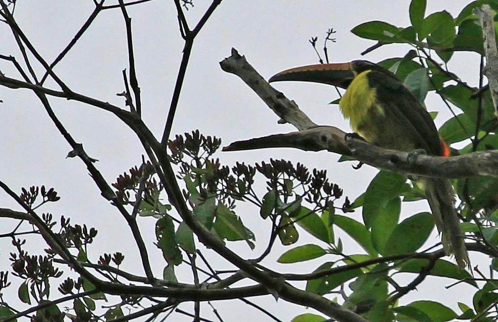 Chestnut-eared Aracari - Yanayaquillo National Park