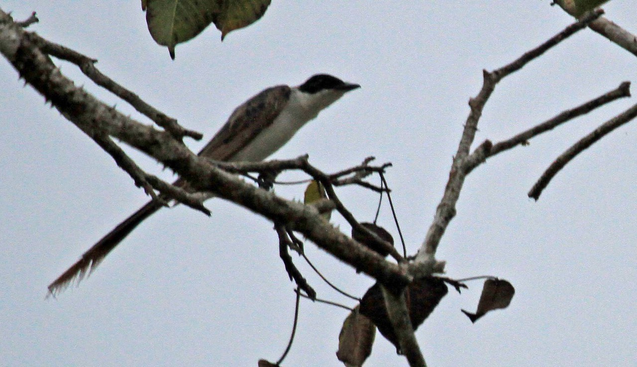 Forked-tailed Flycatcher - Amazon River Basin