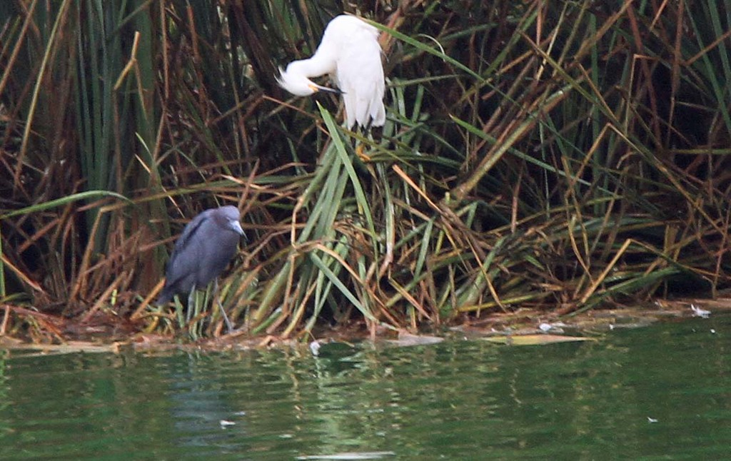 Little Blue Heron and Snowy Egret