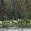 Cattle Egrets, Yellow-crowned Night-heron & Hooded Blackbird