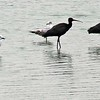 Andean Gulls and Puna Ibis