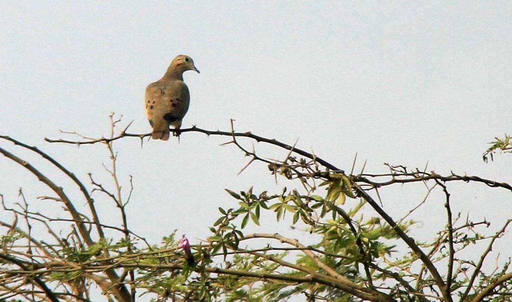 Eared Dove - Lomas de Lachay