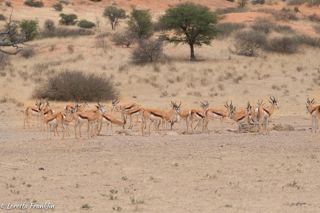 Springbok-6