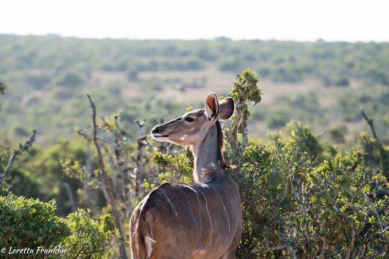 Kudu-16