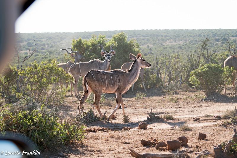 Kudu-15