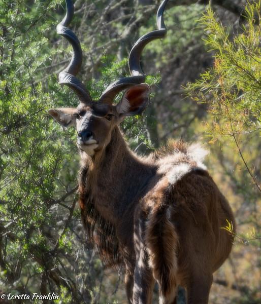 Kudu-12