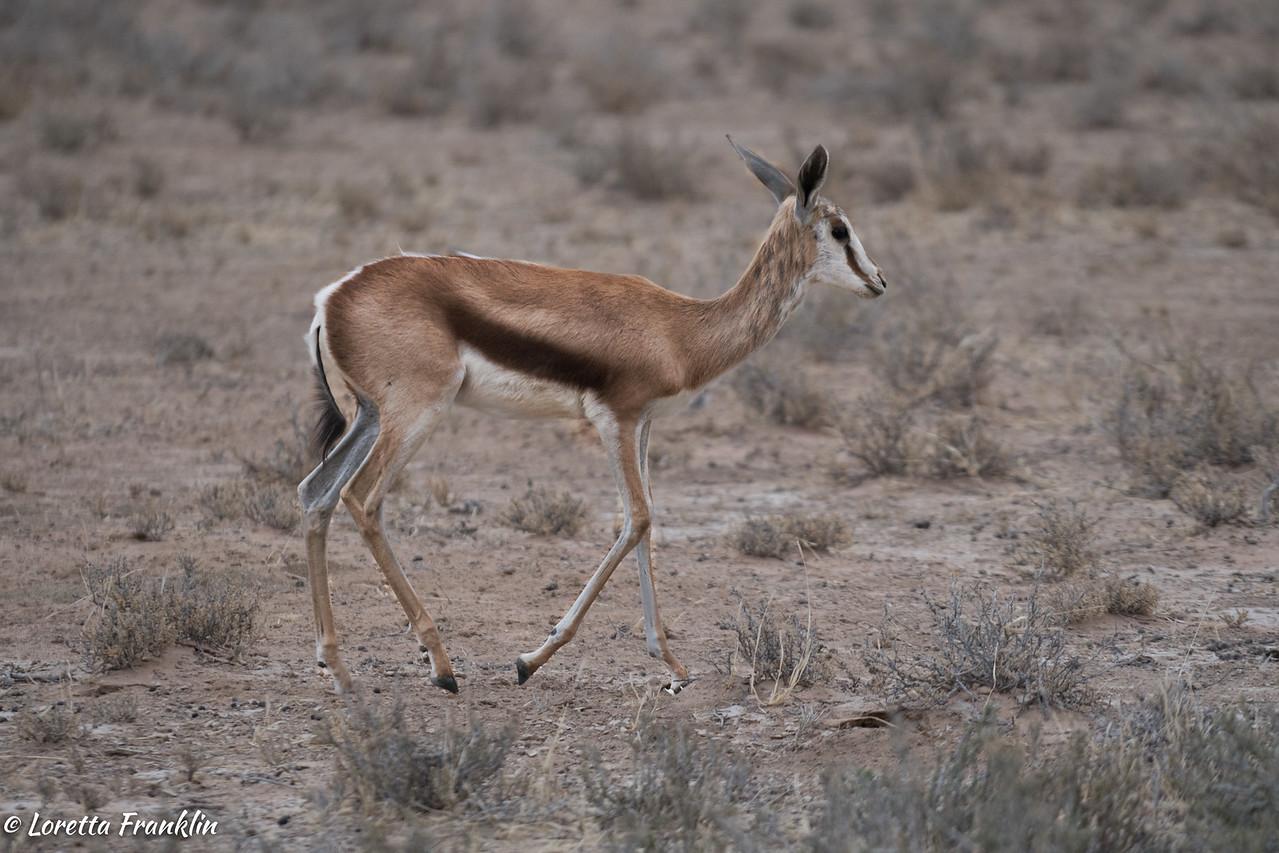 Springbok-1
