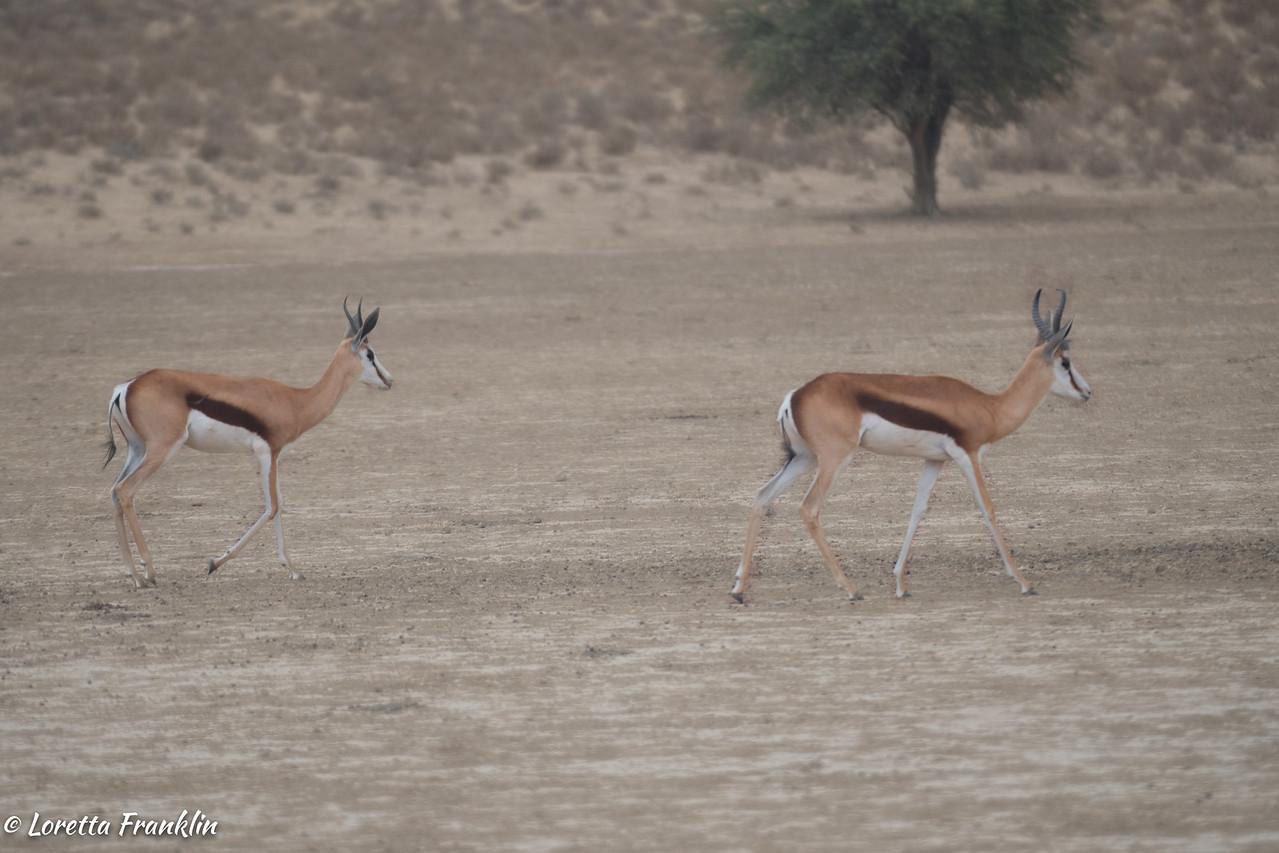 Springbok-4
