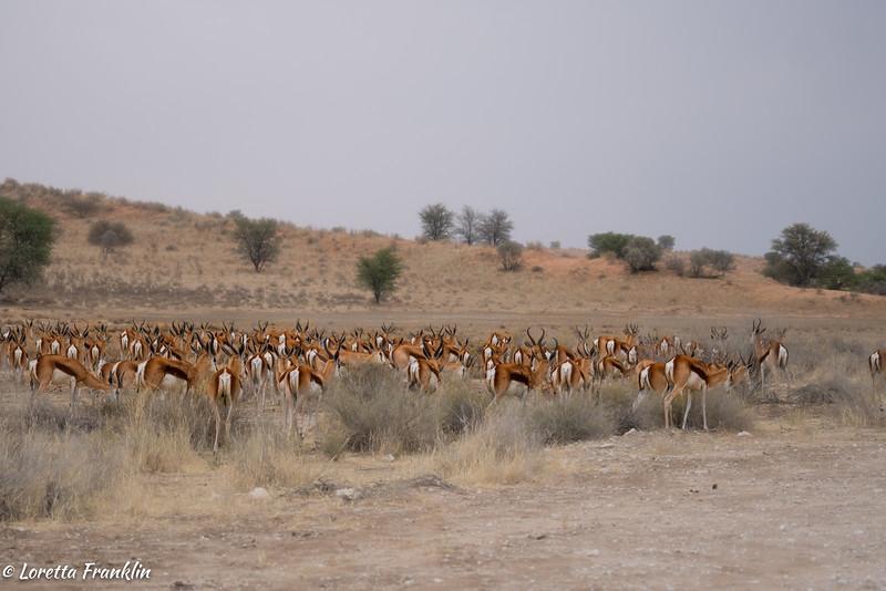 Springbok-3