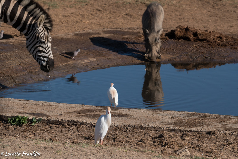 Egrets-2016-9