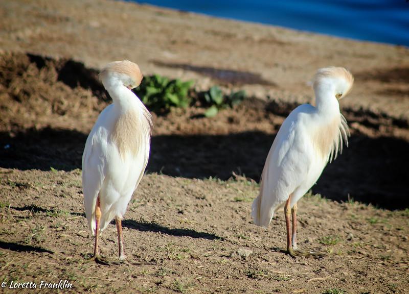 Dantes' Egrets
