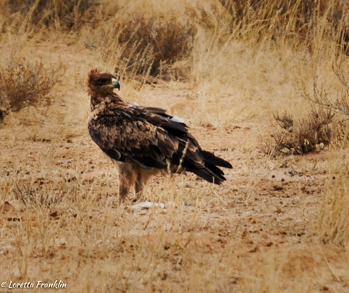 Tawny Eagle-5