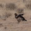 Tawny Eagle-2