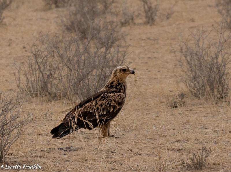 Tawny Eagle-20