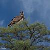 Tawney Eagle-2