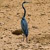 Blue Heron-1
