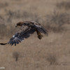 Tawny Eagle-6