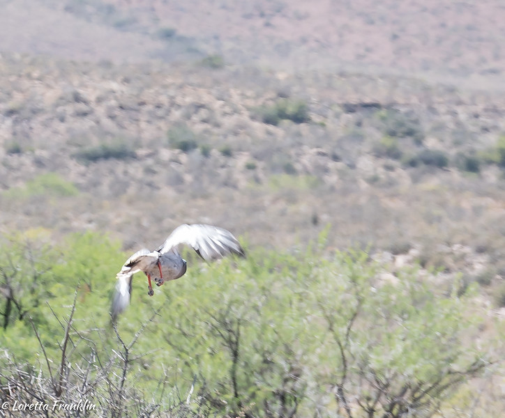 bird_Karoo_2016-4-Edit-2