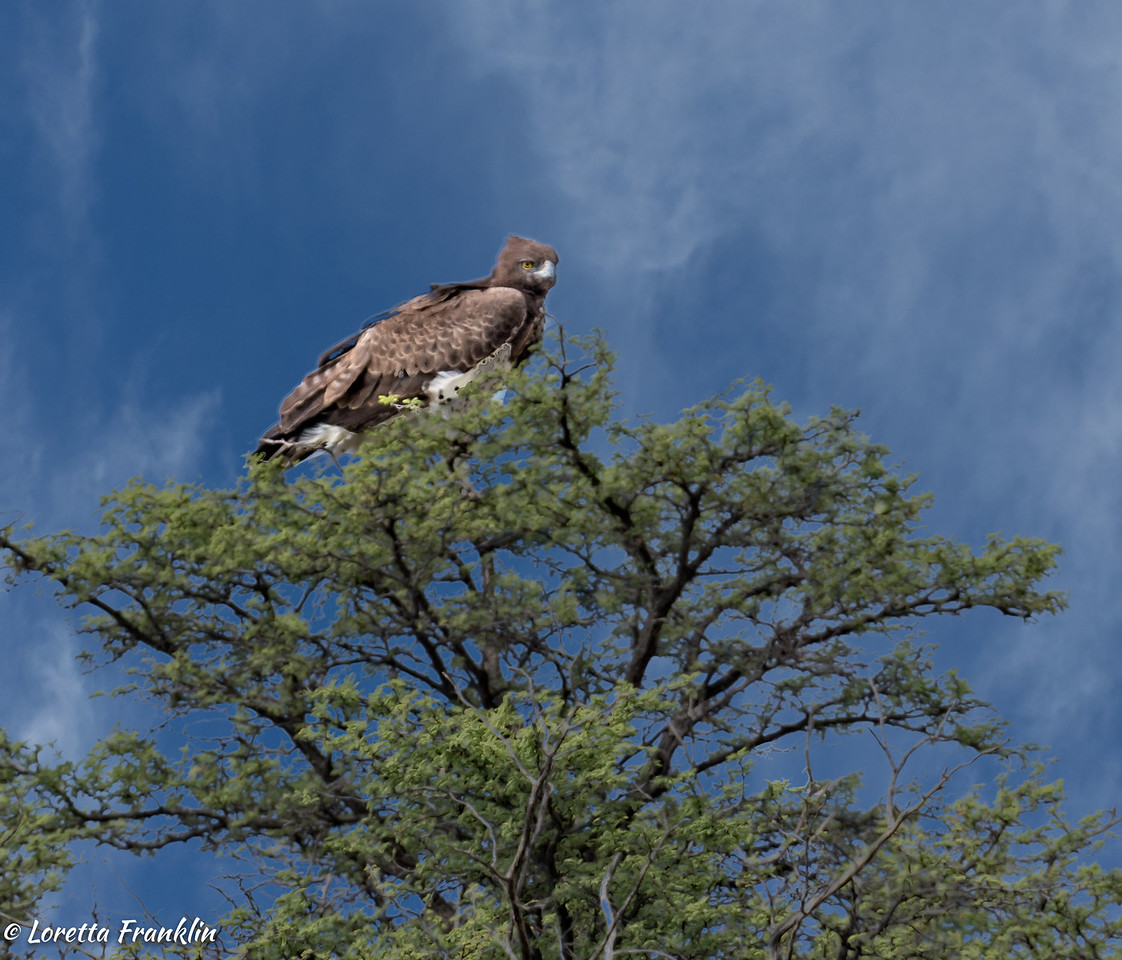 Tawney Eagle-1