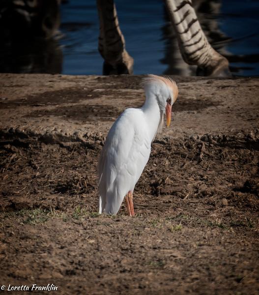Egrets-2016-3