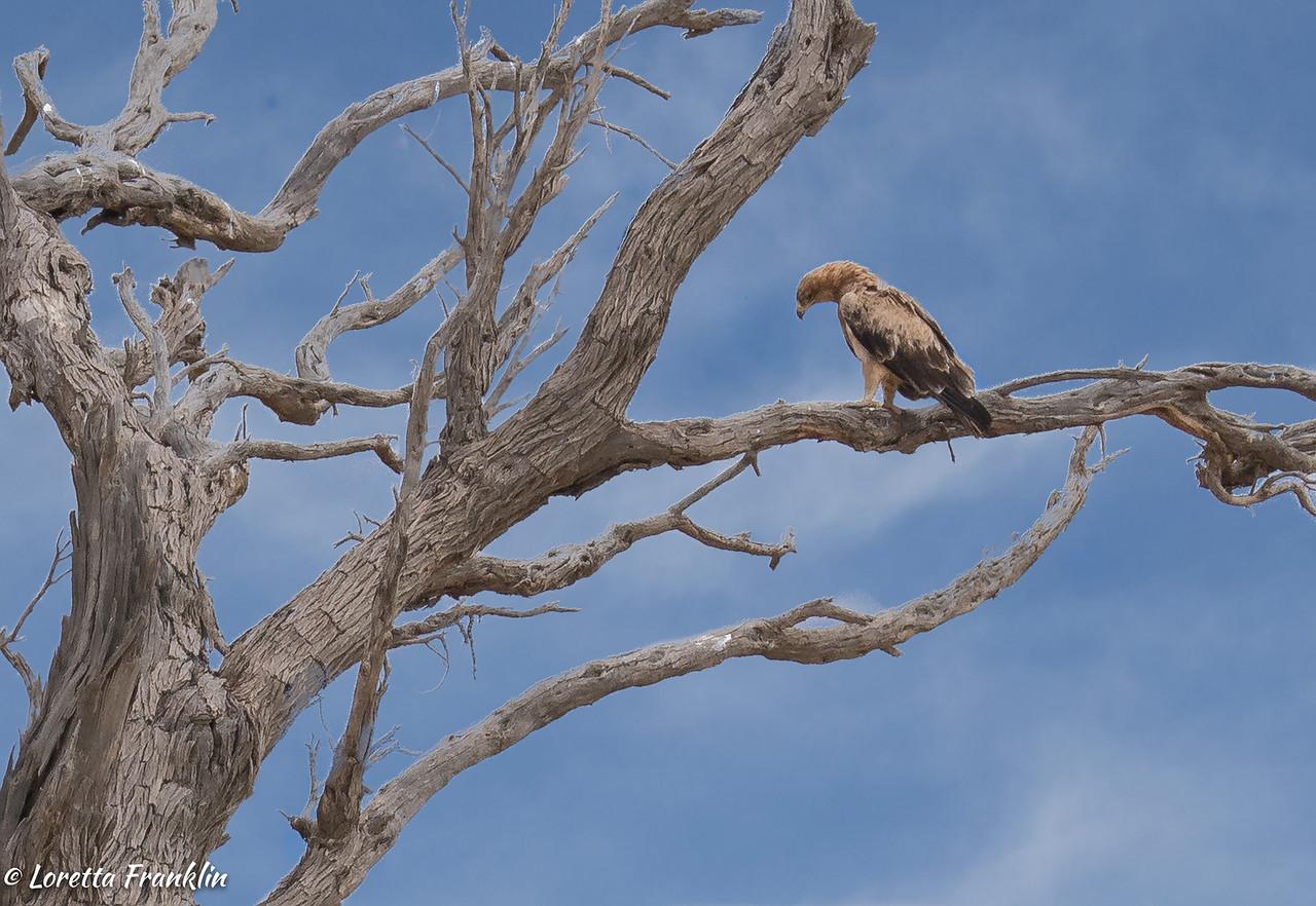 Tawny Eagle -1