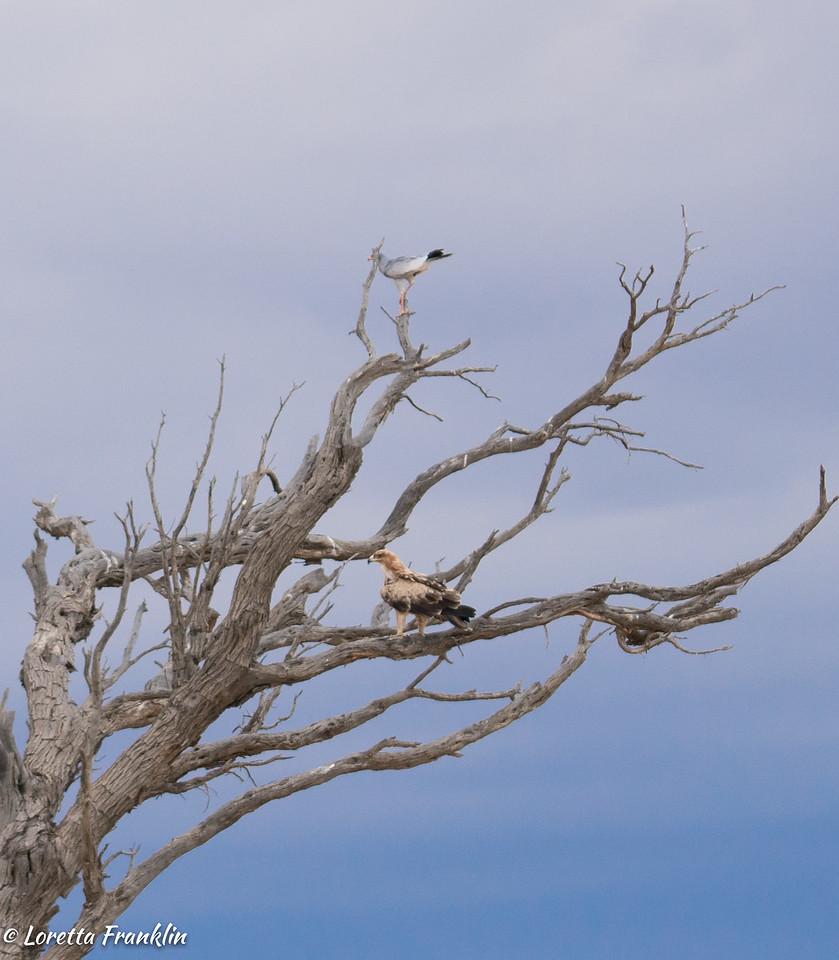 Tawny Eagle and Pale Chanting Goshawk-4