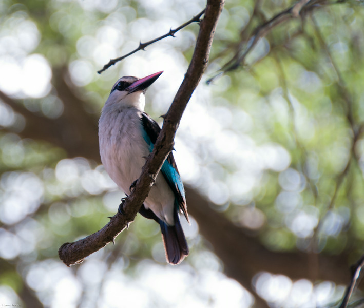 WoodlandKingfisher_01_09