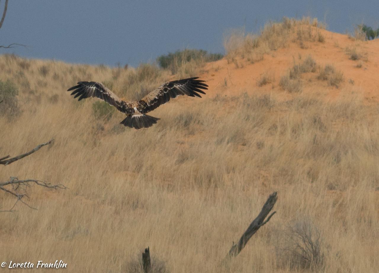 Tawney Eagle-3