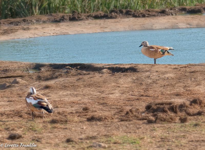 Water Birds-6