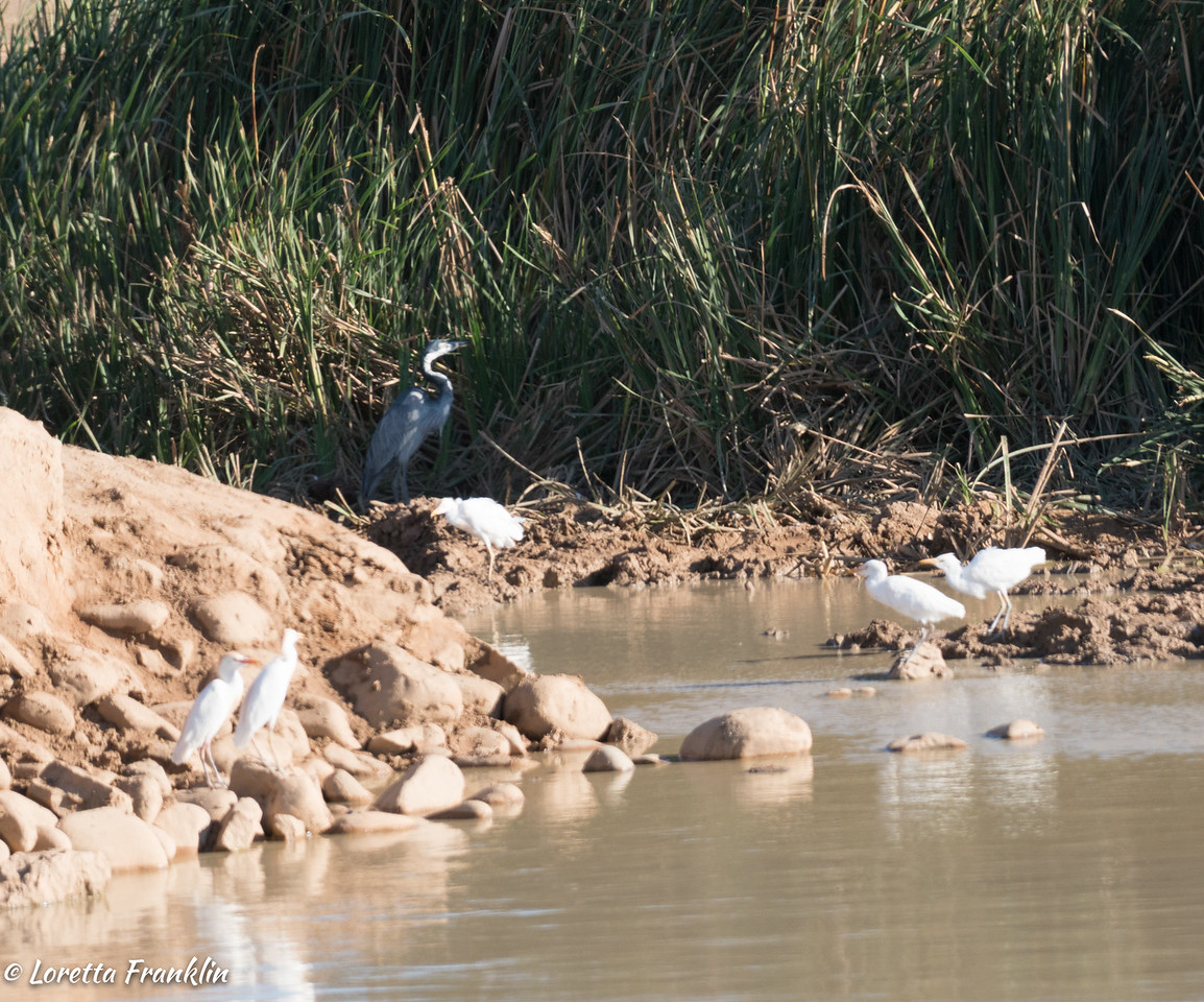 Blue Heron and Egrets