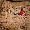 Crimson Breasted Shrike-2