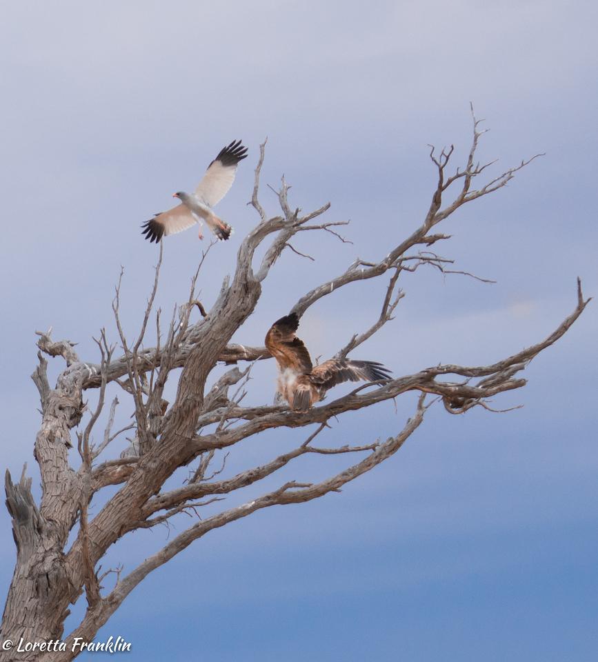 Tawny Eagle and Pale Chanting Goshawk-3