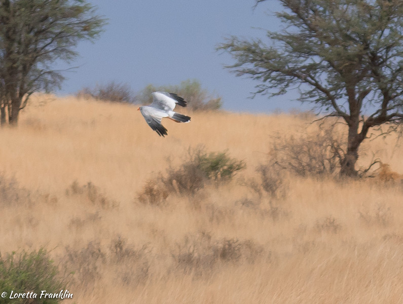 Pale Chanting Goshawk-1